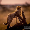 10: cheetahs in the open, Africa Live 2014 Big Cats