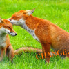 Petition to keep the ban on Fox hunting in place