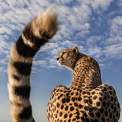 Close up cheetah portrait Richard Costin Wildlife Photographer