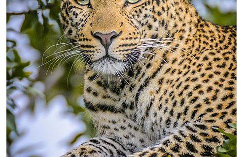 masai mara africa workshop - fig the leopard