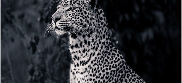 06: Last day with the Acacia pride, Africa Live 2014 Big Cats