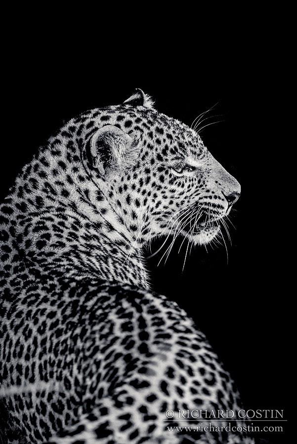 Leopard black and white photograph taken in the Masai Mara