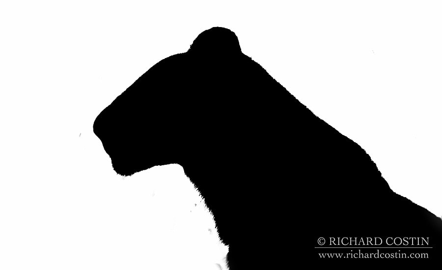Lion silhouette, black and white outline taken in the Masai Mara but wildlife photographer Richard Costin.