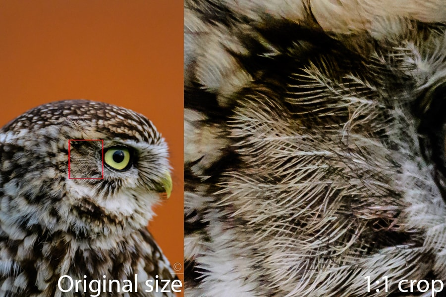 High iso image showing detail from the Nikon D500 DSLR, Richard Costin Wildlife Photography