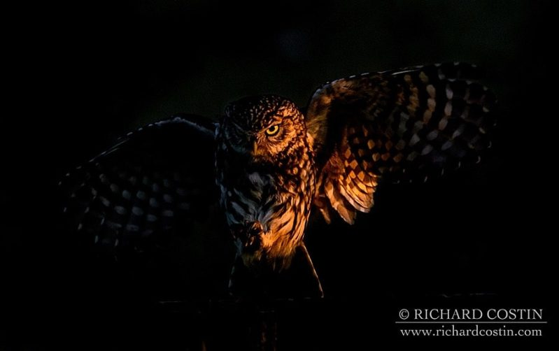 little owl wildlife photograph taken at sunrise by richard costin