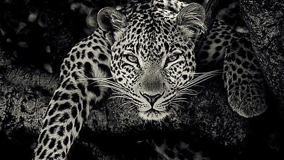 leopard black and white fine art portrait by wildlife photographer richard costin