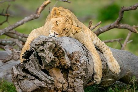 young lion sleeping on a log in the masai mara. taken on a big cat wildlife photography safari workshop