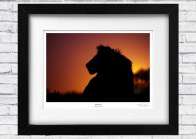 African Lion fine art print, Ricard Costin Wildlife Photography store