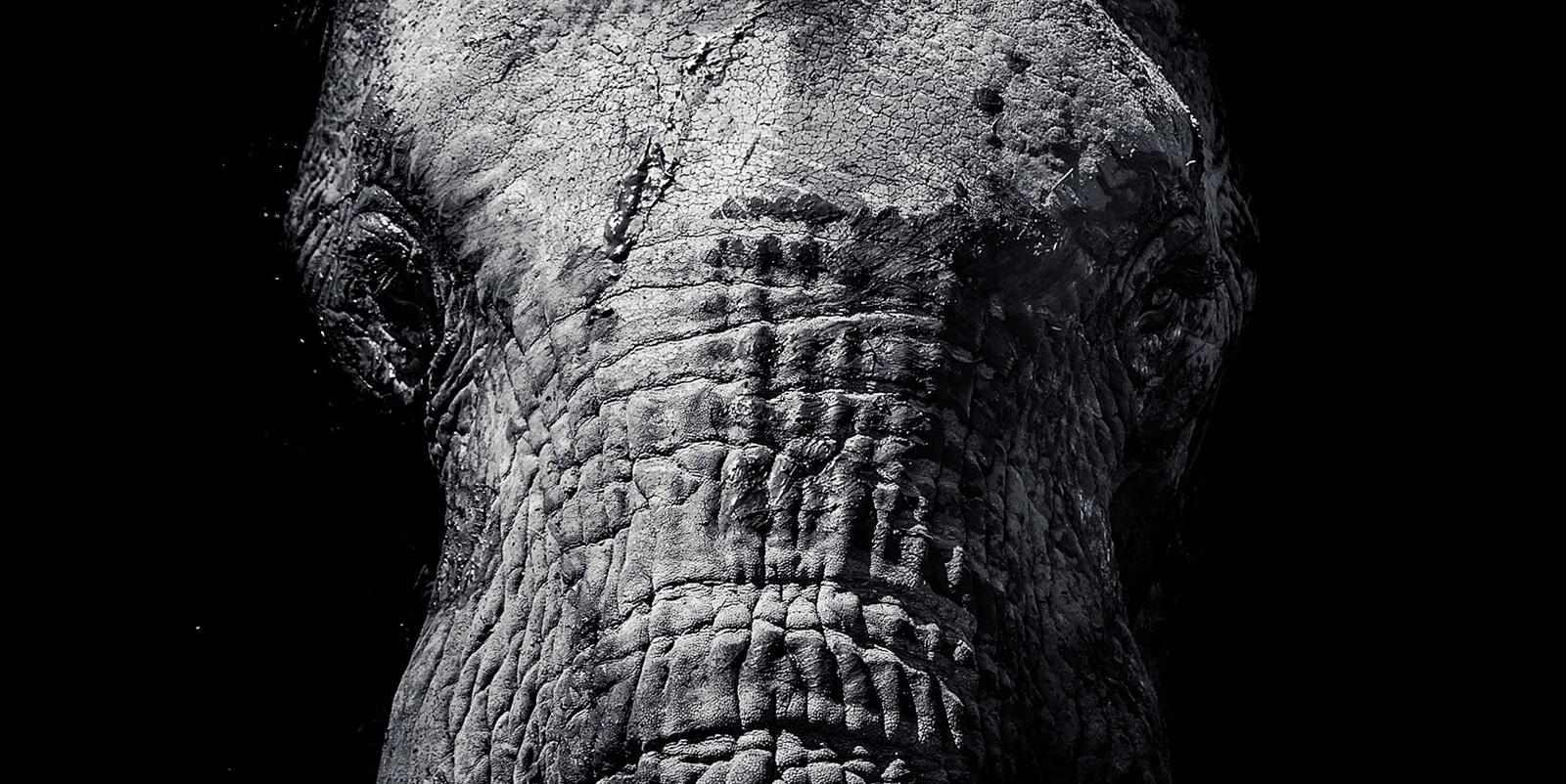 Elephant, black and white wildlife photo by Richard Costin