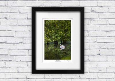 Swan Lake, Mute Swan Wildlife Photography Art Print by Richard Costin