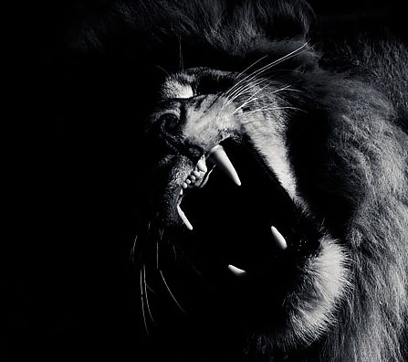 Black and white Lion roaring image by wildlife photographer Richard Costin. Taken in the Masai Mara.