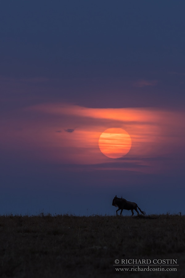 wildebeest sunset - africa live blog, from the masaii mara photography workshop with Richard Costin