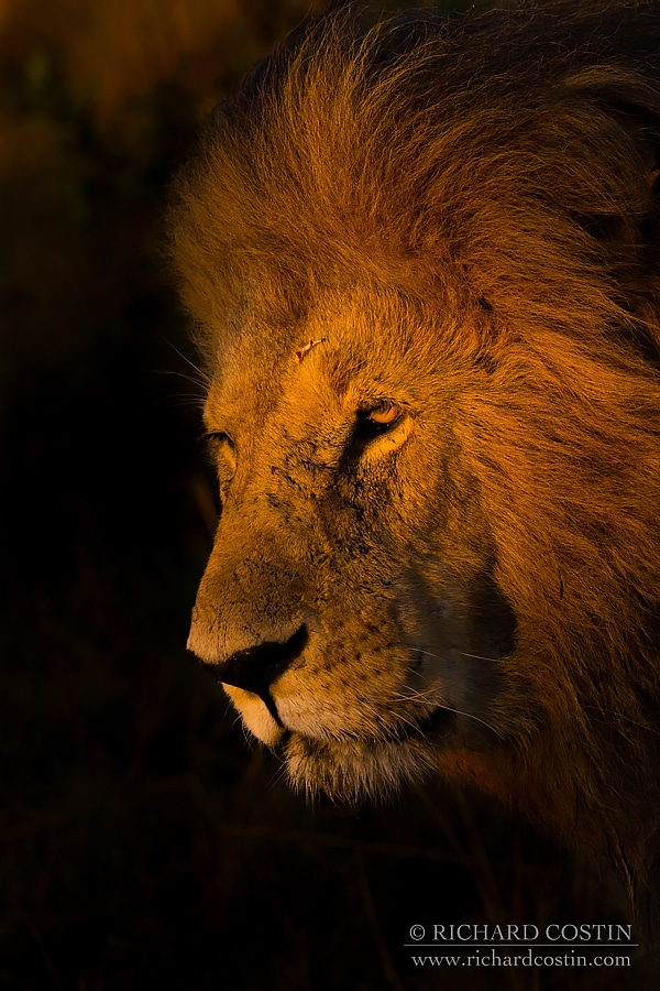 Lion - africa live blog, from the masaii mara photography workshop with Richard Costin