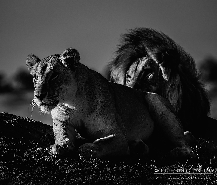Mating Lions. Africa Live photo blog from the Masai Mara by wildlife photographer Richard Costin.