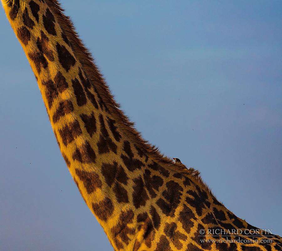 Giraff neck. Africa Live photo blog from the Masai Mara by wildlife photographer Richard Costin.