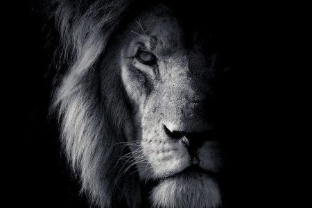 Lion black and white fine art portrait