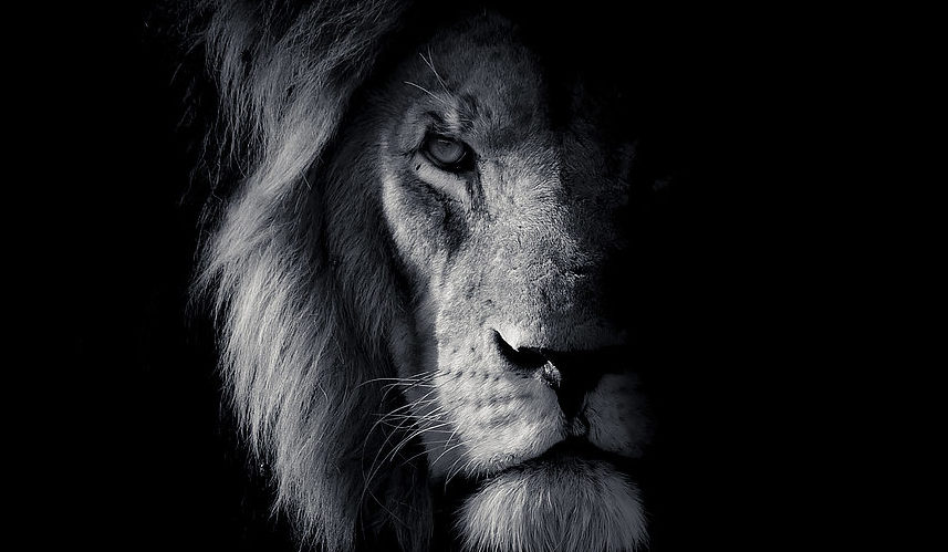 Lion black and white fine art portrait