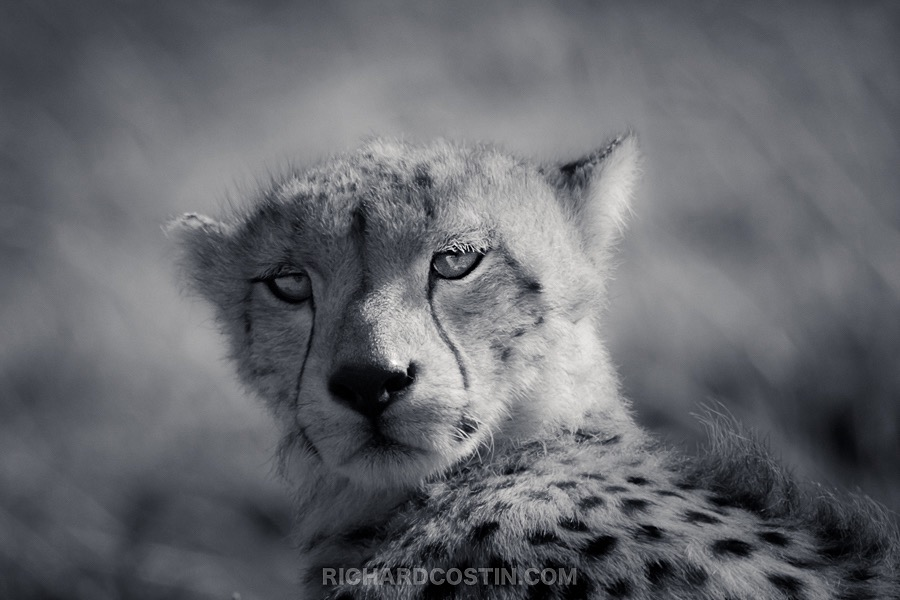 Cheetah image taken on a Nikon mirrorless camera by wildlife photographer Richard Costin.